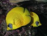 Masked Butterflyfish.jpg