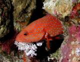 Coral Hind.jpg