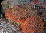 Smallscale Scorpionfish.jpg