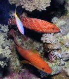 Coral Hinds + Goldband Fusiler.jpg