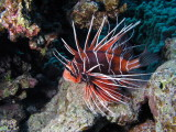 Clearfin Lionfish.jpg