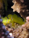 Citroen Coral Blennies.jpg