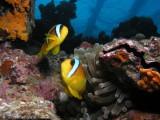 Clownfish on Umbria.JPG