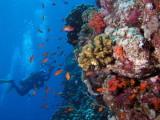 Bob and Red Sea Anthias.jpg