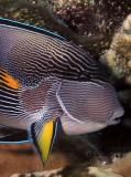 Surgeonfish.jpg