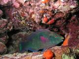 Parrotfish and Boxer Shrimp.jpg