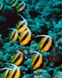 Bannerfish.jpg
