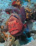 Red Sea Coral Grouper.jpg