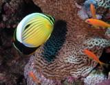 Red Sea Melon Butterflyfish.jpg