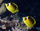 Red Sea Racoon butterflyfish.jpg