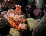 Bearded Scorpionfish.jpg