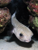 Burrfish.jpg