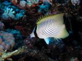Chevron Butterflyfish.jpg