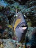 Titan Triggerfish.jpg
