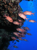 Blotcheye Soldierfish.jpg