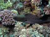 Giant Moray that slid by me and attacked the fish I was photographing