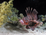Common Lionfish digesting its catch