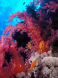 Red Sea Anthias with soft corals