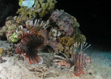 Male and female lionfishes