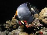 Orangefaced butterflyfish