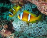 Clownfish on a bubble anemone