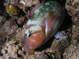 Sleeping parrotfish