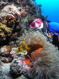A magnificent anemone and clownfish