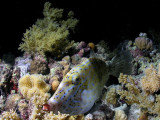 Scribbled filefish