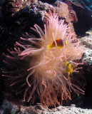 Clownfish on a pink anemone