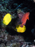 Masked butterflyfish with coral hinds