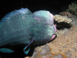 Bumpheaded parrotfish