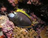Masked surgeonfish