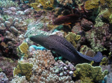 Free-swimming Moray Eel