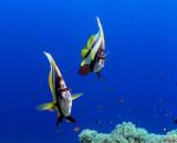 Curious Bannerfish
