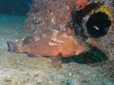 Red Grouper 2.jpg