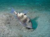 Triggerfish Nesting.jpg