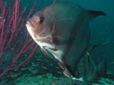 GW Spadefish.jpg