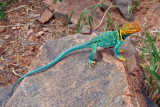 Collared Lizard--really, it's not a toy