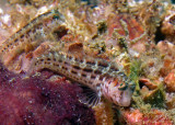 Seaweed blennies