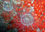 RF7 Anemones and orange encrusting sponges