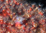 Tube worm and coral polyps