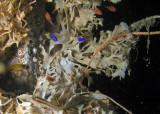 Reeffish, cardinalfish, and blennies