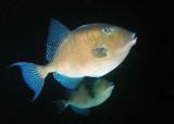 Gray Triggerfish