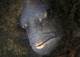 Face to face with a sheepshead--didn't I see those teeth in a novelty store?