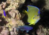 Young Queen Angelfish