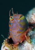 Tessellated Blenny