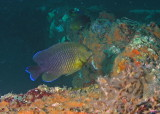 Cocoa Damselfish