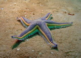 Beaded Sea Star