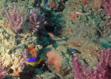 Cocoa damselfish, yellowtail reeffish, cardinalfish, seaweed blenny, and slippery dick