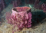 Small Barrel Sponge